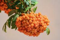 European rowan fruit