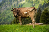 Brown cows graze in a meadow, forest in the background