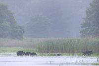Wildschweinrotte durchquert einen Teich