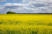 Agricultural lands with yellow plants of rapeseed on a cloudy sky.