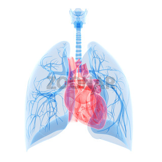 medical illustration of the heart and lung