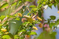 Olive-backed Sunbird with flower, Ethiopia wildlife