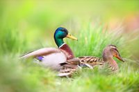 Two mallard sitting in grass in summertime nature.