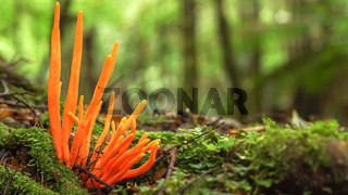 orange fungi growing in tarkine rainforest in tasmania, australia