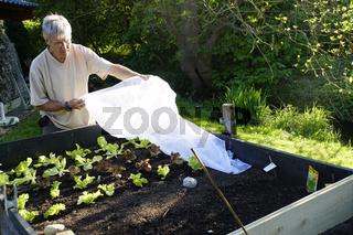 Hobbygärtner deckt junge Salatpflanzen im Hochbeet mit einem Vlies ab