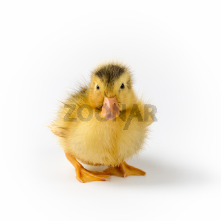 pretty baby duck isolated