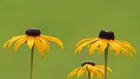 Blüten des gelben Sonnenhuts (Rudbeckia fulgida) vor neutralem Hintergrund
