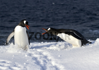 two penguins Gentu fighting on a snowy slope