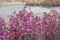 Rhododendron dauricum bushes with flowers (popular names bagulnik, maralnik) with altai river Katun on background.