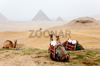 Camels and the pyramids of giza, egypt