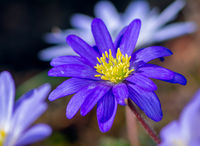 Windflower in the garden
