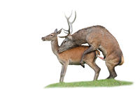 Red deer stag and hind copulating during rutting season isolated on white