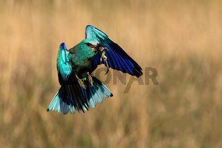 Blue european roller flying with a catch in beak in spring.