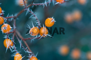 Frosted orange rowan berries