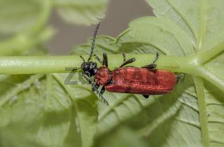 Scharlachroter Feuerkäfer  'Pyrochroa  coccinea'