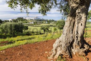 Alter Olivenbaum vor Locorotondo, Apulien