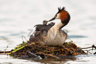Great crested grebe mother feeding cubs on water in spring.