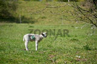 Junges neugeborenes Schaf auf einer Wiese