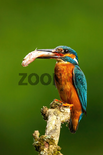Male common kingfisher sitting on a twig with fish about to feed
