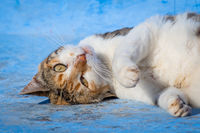 Street cat poses for the camera in Chefchaouen, Morocco