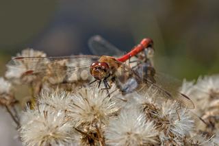 Große Heidelibellen bei der Paarung 'Sympetrum striolatum'