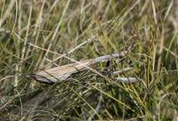 In der Graslandschaft gut getarnte Europäische Gottesanbeterin (Mantis religiosa)