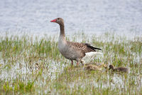 Greylag goose mother with juvenile goslings standing on water.
