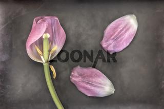 Tulpe Stillleben