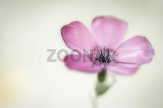 Blüte eines Storchenschnabels