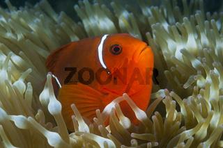 Stachel-Anemonenfisch, Papua Neuguinea