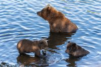 Wild Kamchatka brown she-bear with two cubs fishing red salmon fish in river during fish spawning. Predators in natural habitat