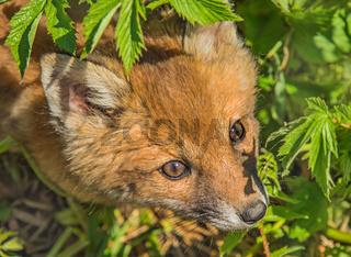 Junger Rotfuchs 'Vulpes vulpes'