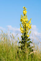 Mullein verbascum blooming on a meadow