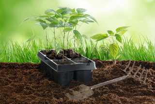 Paprika-Setzlinge ins Gemüsebeet pflanzen