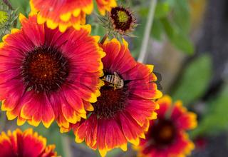 Kokardenblume rot-gelb blühend mit unscharfen Kokardenblumen im Hintergrund und einer Biene