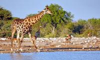 Trinkende Giraffe, Etosha-Nationalpark, Namibia, (Giraffa camelopardalis) | Drinking giraffe, Etosha National Park, Namibia, (Giraffa camelopardalis)