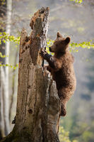 Curious brown bear climbing an old broken tree in spring forest