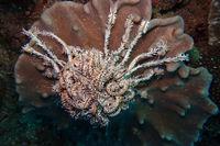 Haarstern auf einer Koralle