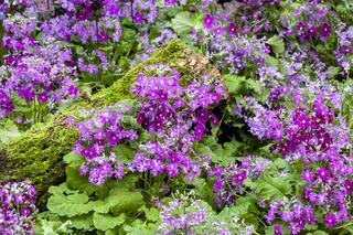 Violette und weisse Fliederprimeln mit moos bewachsenem Holzstamm