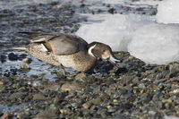 northern pintail male feeding ashore on a winter day