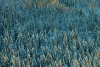 Dark coniferous forests in Siberia