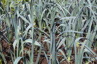 Allotment garden in autumn with detail of ripening leek