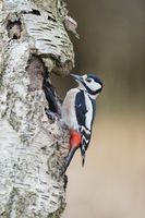 Buntspecht Weibchen, Dendrocopos major, Female Great spotted woodpecker