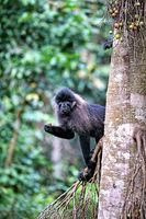 Uganda-Mangabe im Kibale National Park Uganda (Lophocebus ugandae) | Uganda mangabey at Kibale National Park Uganda (Lophocebus ugandae)