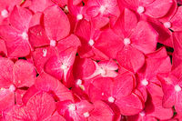 Colorful red background of beautiful Hortensia flowers