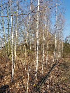 Stillgelegtes Gleis von jungen Birken überwachsen