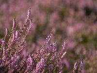 Nahaufnahme der lila Blüten von Heidekraut
