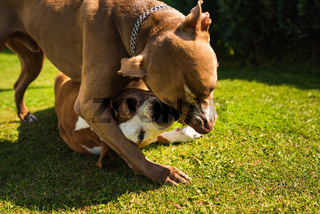 Two dogs amstaff terriers playing on grass outside. Young and old dog fun in backyard.