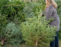 Frau entsorgt einen Weihnachtstannenbaum nach dem Weihnachtsfest