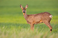 Roe deer doe looking to the camera on green field in spring